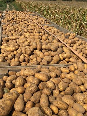 Bild einer Kartoffelernte