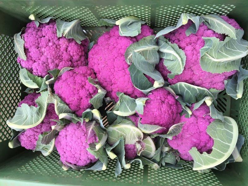 Eine neue lila Sorte Blumenkohl