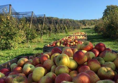Bild einer Apfelernte für frischen Apfelsaft oder einfach so genießen