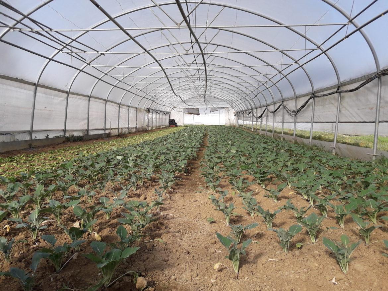 Gewächshaus in dem Gemüse wächst für die Biokiste