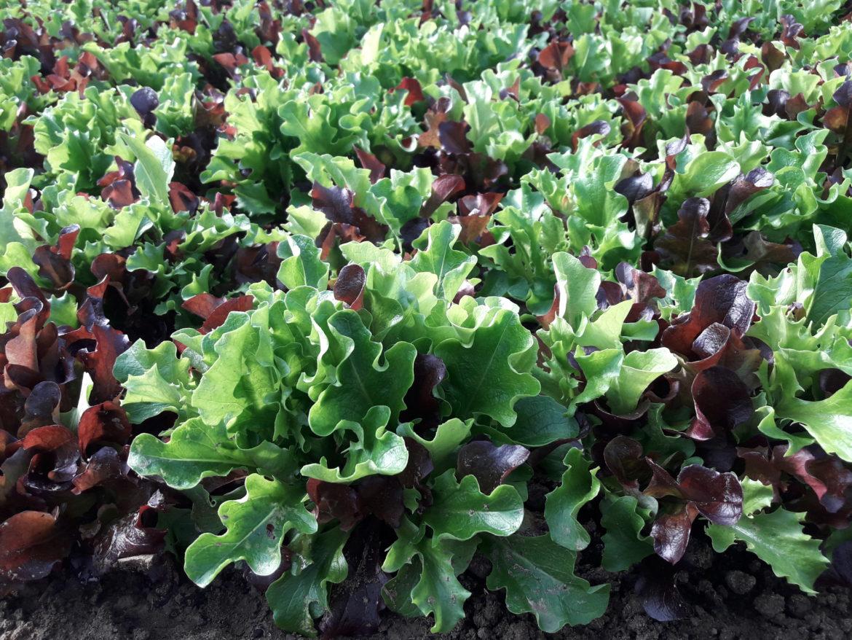Man sieht Salat, der in die Gemüsekiste für das Pro-Bio-Abo kommen soll
