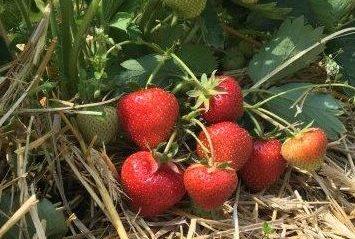 Heranwachsende Erdbeeren